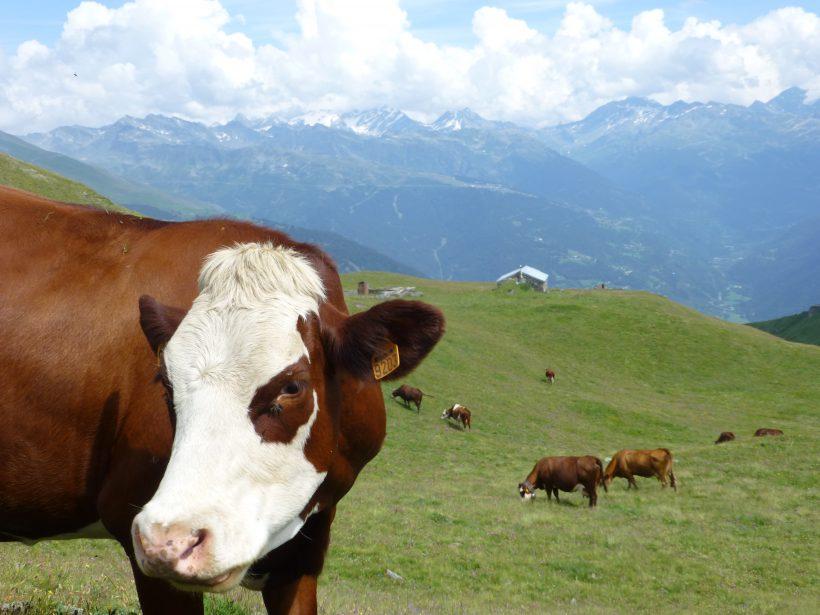 Systèmes d'alimentation des vaches laitières