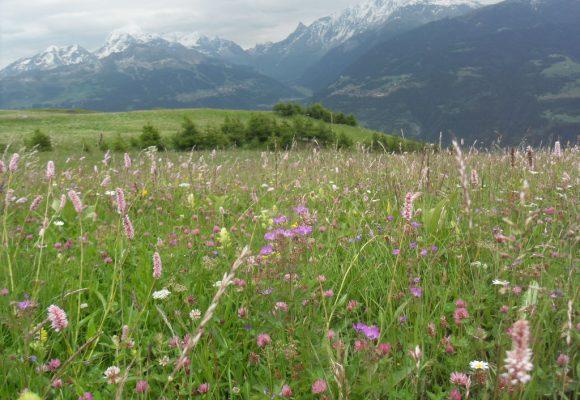 Amélioration des prairies naturelles